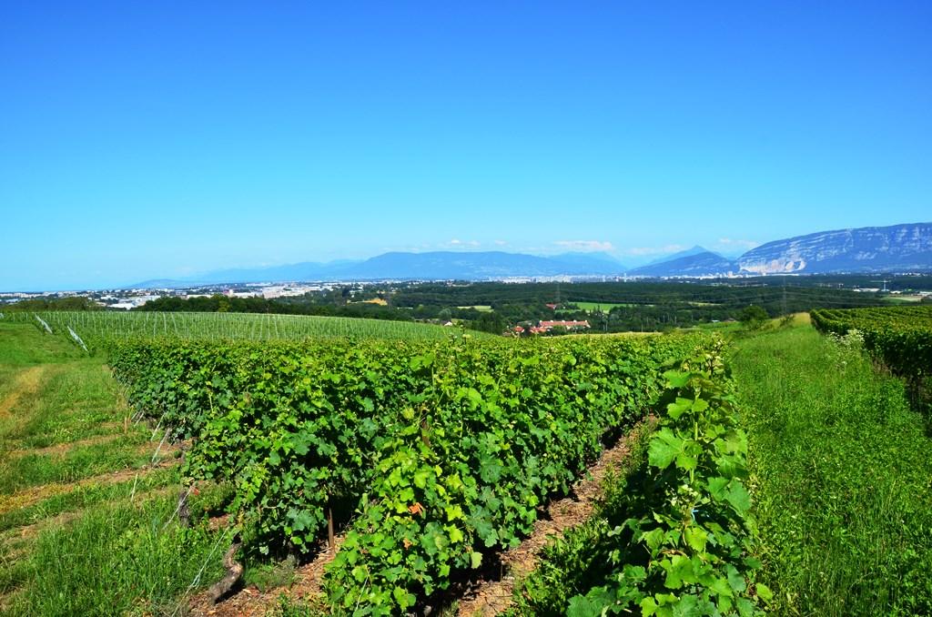 szwajcarskie winnice